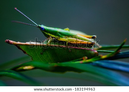 Grasshopper eating the leaves