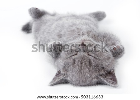 Gray British fluffy kitten lying on his back (isolated on white)