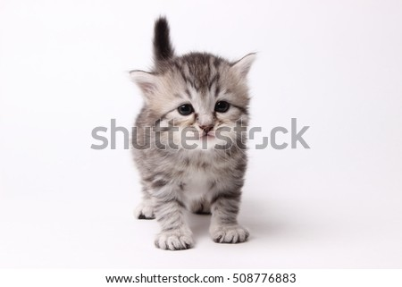 gray British kitten on white background