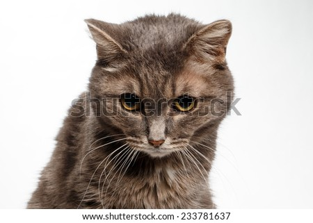 gray cat lowered his head guiltily on white background