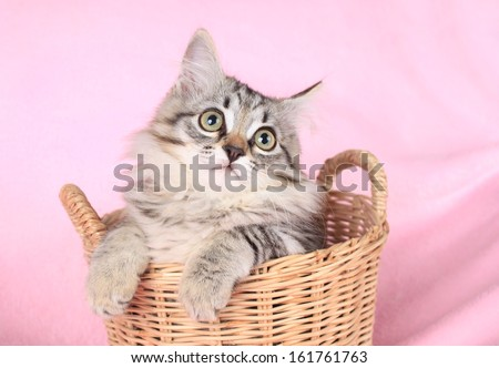 gray kitten on a pink background