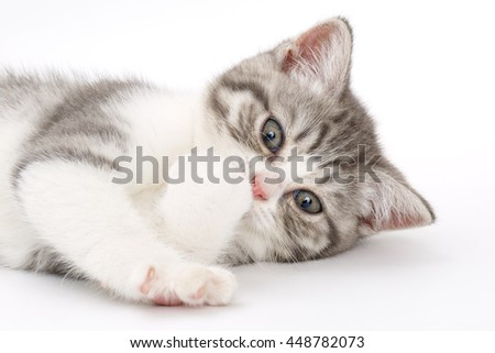 Gray kitten on a white background licking his paws and looking up. Portrait of the Scottish cat.