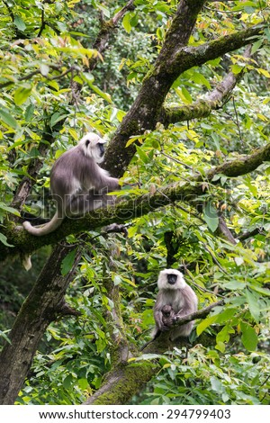 Gray langurs or Hanuman langurs, the most widespread langurs of South Asia, are a group of Old World monkeys.
