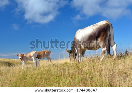 grazing cows with calf on the hill