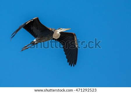 Great Blue Heron - Ardea herodias, flying in a clear blue sky, making eye contact.