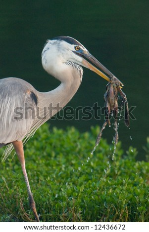 great blue heron catching grackle chick for breakfast in wetland pond (very graphic)