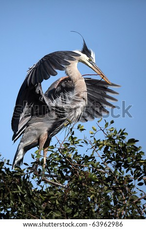 Great Blue Heron landing at a rookery in Venice, Florida.