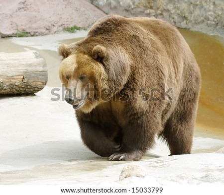 Great brown bear. Russian nature, wilderness world.