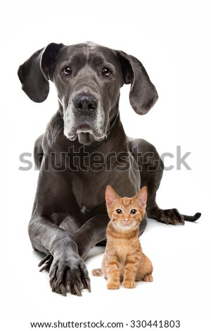 Great Dane and a Red kitten in front of a white background