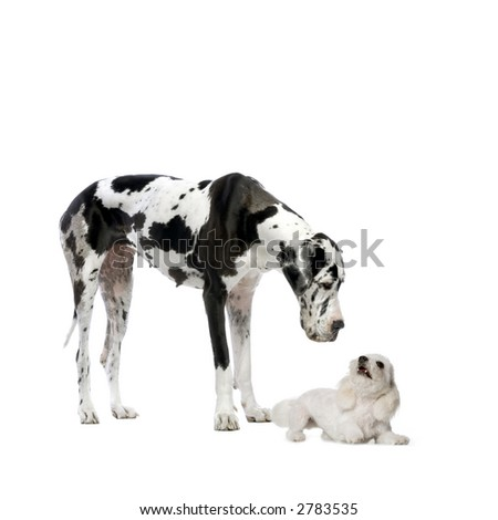 Great Dane HARLEQUIN and maltese dog playing and looking at each other in front of a white background