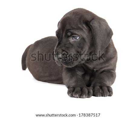 Great Dane puppy on a white background