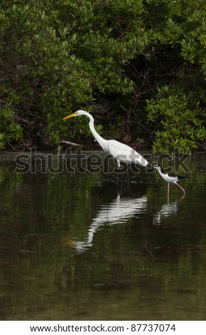 Great Egret (Ardea alba) and Black-necked Stilt (Himantopus mexicanus) birds in a tropical lake in Antigua, Caribbean