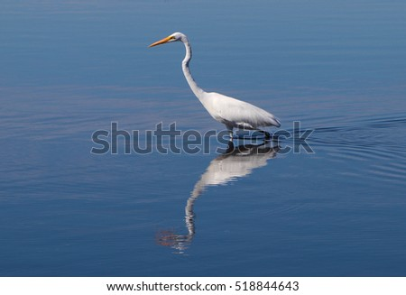 Great Egret Wading Reflected