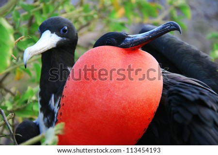 Great Frigate Bird during its mating ritual, Galapagos islands, Ecuador, South America