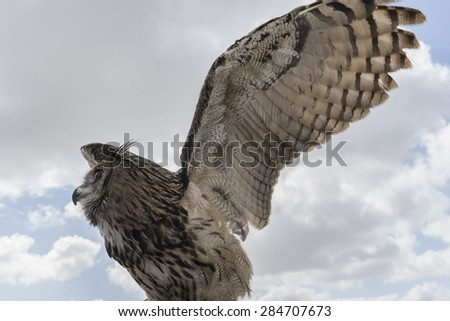 Great horned owl, Spain