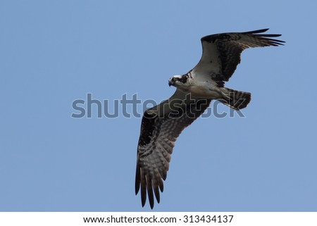 Great Osprey hunting against a blue sky background