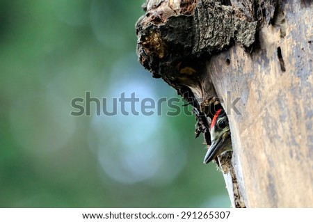 Great Spotted Woodpecker chick in the nest hollow
