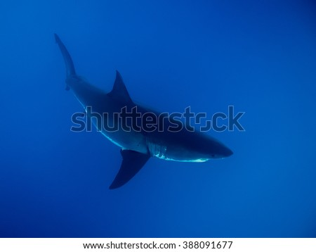 Great white shark under sunlight in the blue Pacific Ocean at Guadalupe Island in Mexico