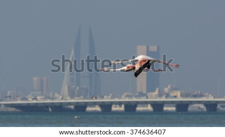 Greater flamingo with blur building background