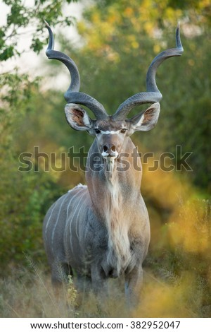 Greater Kudu male standing alert in Khwai Reserve in Botswana
