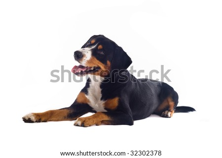 Greater Swiss Mountain Dog puppy isolated on white background
