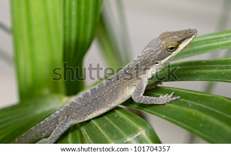 green anole lizard on a palm frond.