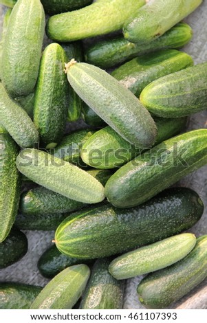 green background of the young cucumbers