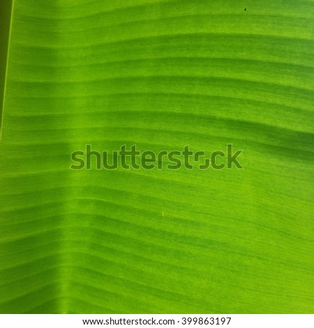 green banana leaves texture
