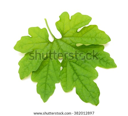 Green bitter gourd leaf isolated on white background