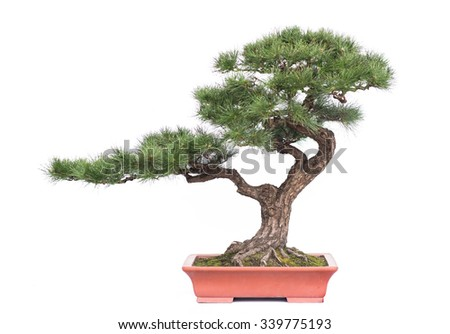 green bonsai tree of pine in a ceramic pot isolated on white
