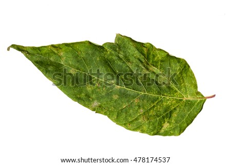 Green Color Leaf with Texture isolated on White Background.