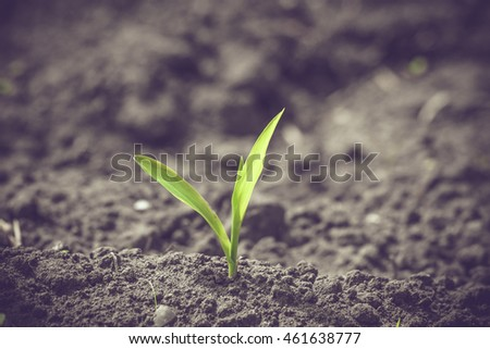 Green corn sprout in black soil in the springtime