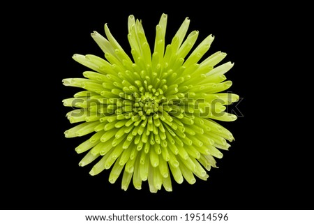 Green flower isolated on a black background