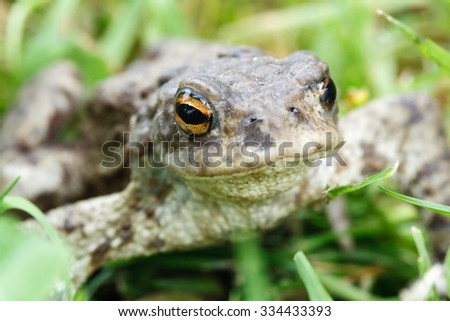 Green frog in the grass (focus on eyes)