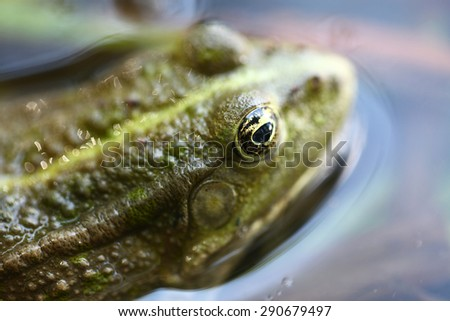 Green frog in the water closeup