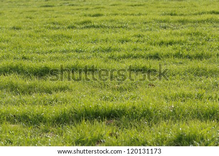 Green grass in a field
