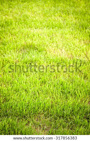 Green grass on the lawn. Selective focus. Shallow depth of field. Toned.