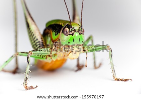 Green Grasshopper isolated, closeup.