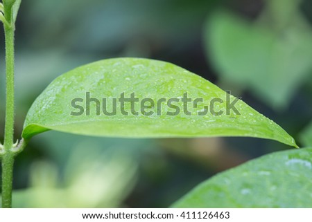 Green leaf in nature , soft focus