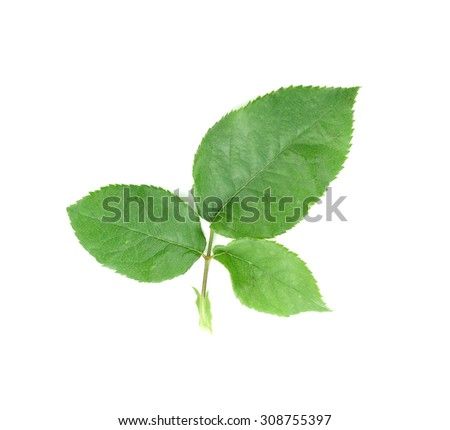 green leaf on a white
