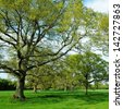 Green Leafy Oak Trees Standing in a Field in Rural England - stock photo