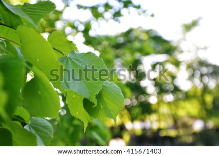 Green leaves of old linden tree