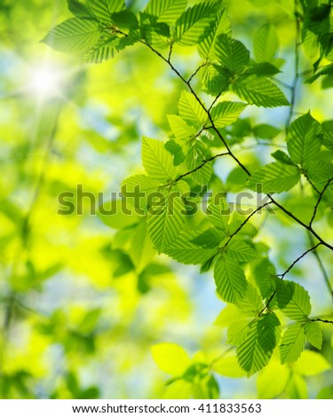 Sunlight Filtering Through Canopy Young Maple Stock Photo