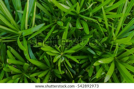 Green leaves resembling flower.