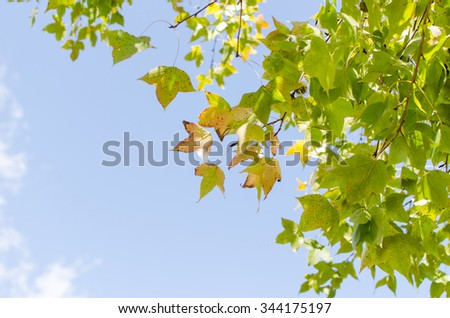 Green maple leave on blue sky background