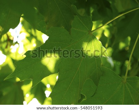 Green maple leaves in sunshine close up