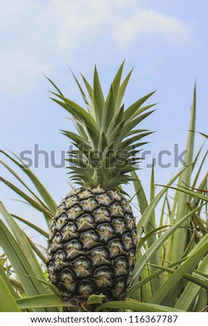 Green Pineapple plantation in summer day
