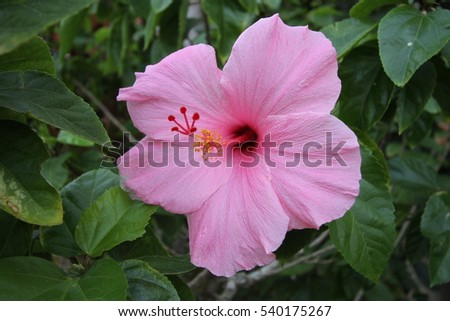 Green plant with large pink hibiscus flower