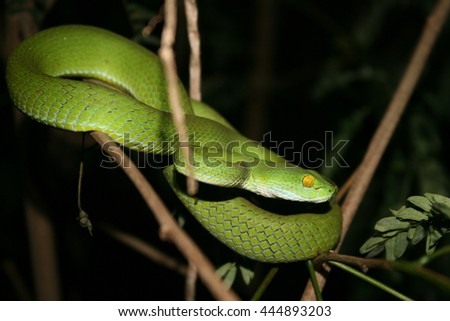 Green Python on a branch