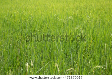 Green Rice Field - rice is the main food for asian country
